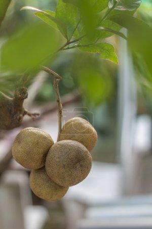 Mature limes