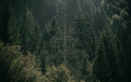 Photo pour Grands arbres poussant en forêt sur la montagne - image libre de droit