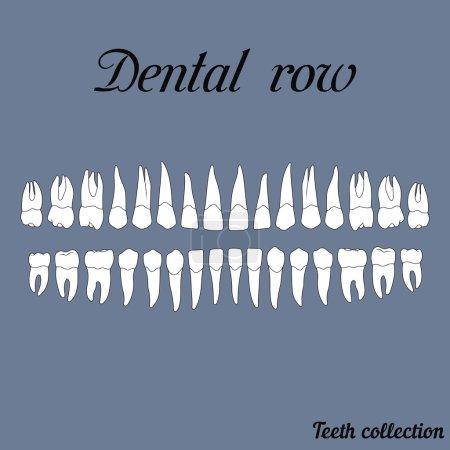 Dental row teeth - incisor, canine, premolar, mola...