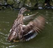 Kachna křídly v rybníku