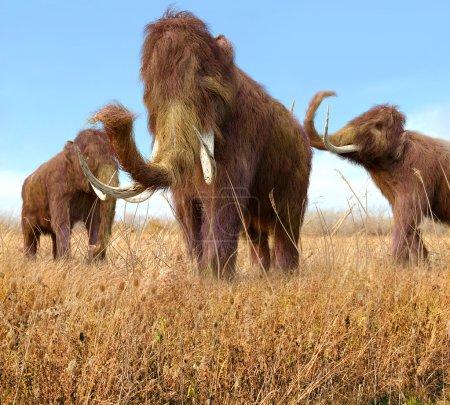 Woolly Mammoths Grazing In Grassland
