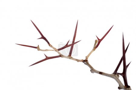 Foto de Un montón de ramas de acacia con espinas aisladas sobre fondo blanco. guirnalda espinoso concepto. peligro - Imagen libre de derechos
