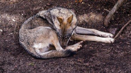 Photo pour Loup scandinave (Canis lupus lupus) triste ou endormi avec un manteau d'été est enroulé sur le sol - image libre de droit