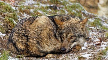 Photo pour Mignon regardant recroquevillé loup gris scandinave femelle avec manteau d'hiver regardant peur de ce qui se passe derrière elle - image libre de droit