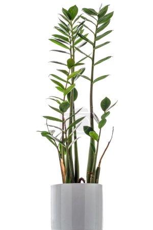 Zamioculcas zamiifolia on white