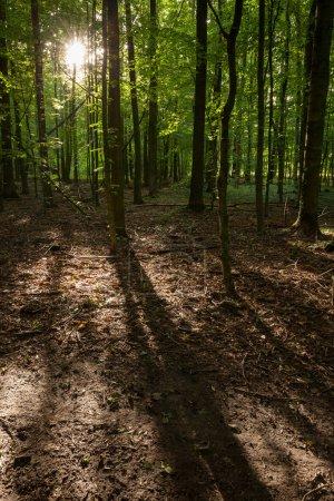 forêt de hêtre vert