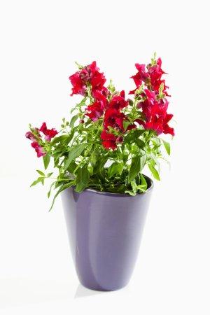 Antirrhinum, snapdragon, flowerpot