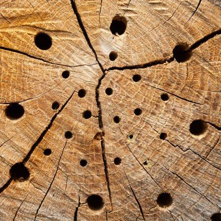 Photo pour Tronc d'arbre avec trous de nidification - image libre de droit