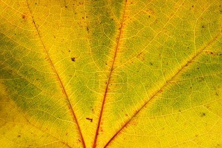 Autumn leaf, close up