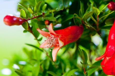 Pomegranate blossom on grenn branches