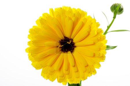 Pot Marigold, blossom, white background