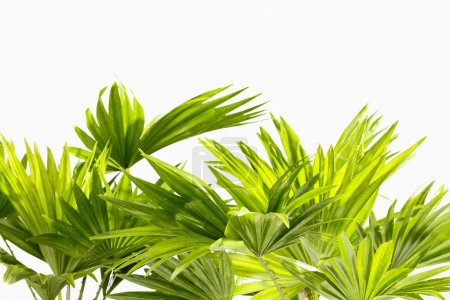 Photo for Palm leaves on white background - Royalty Free Image