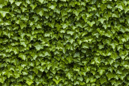Wall of ivy green leaves