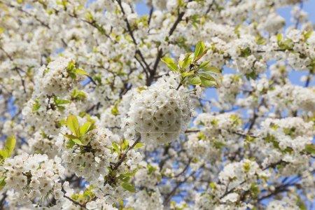 Photo pour Allemagne, Rhénanie-Palatinat, Cerisier, cerisier blanc - image libre de droit