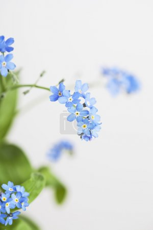 Forget-me-not, blue blossoms