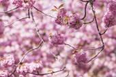 """Постер, картина, фотообои """"Розовая вишня в цвету"""""""