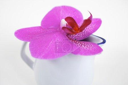 Photo pour Fleur d'orchidée phalaenopsis rose dans un petit pot en porcelaine blanche - image libre de droit
