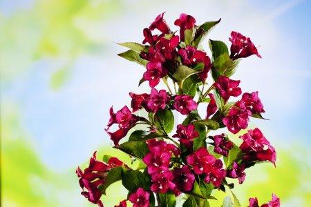 Weigelia ruby flowers