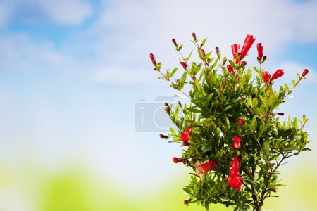 Pomegranate blossom on bush