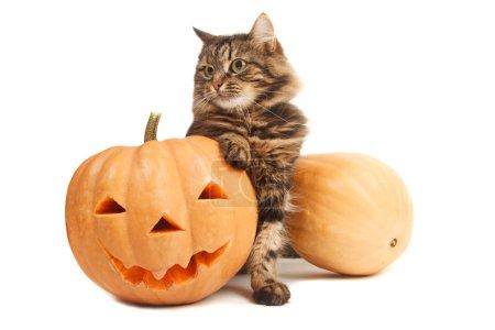 Cute cat with pumpkins