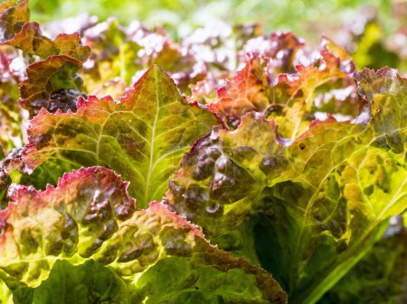 Photo for Red Lettuce Closeup in the vegetable garden - Royalty Free Image