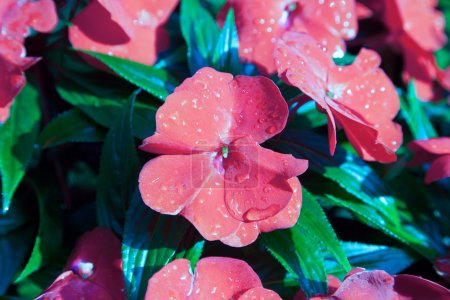 Red flowers with morning dew, water droplets, on green leaf background
