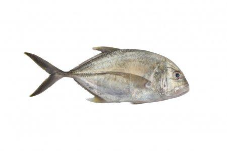Giant trevally, Lowly trevally  Giant kingfish (Ca...