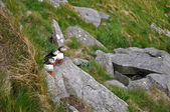 The Atlantic puffin