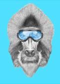 Portrait of Mandrill with ski goggles.