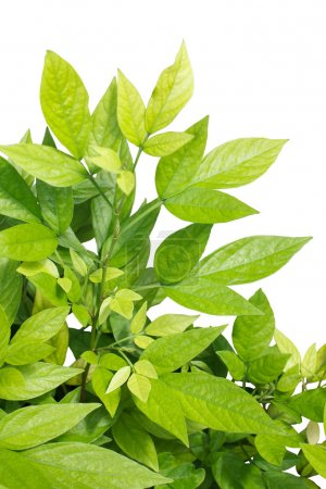 Photo for Green leaves on white - Royalty Free Image