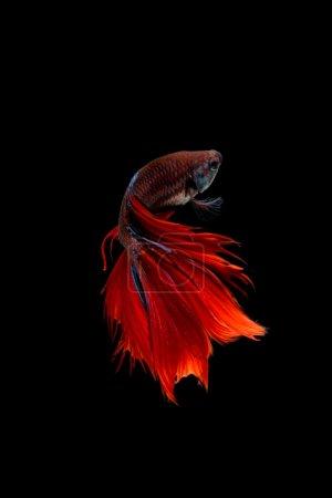 Photo pour Capturez le moment émouvant des siamois rouges combattant des poissons isolés sur fond noir. Betta poisson - image libre de droit