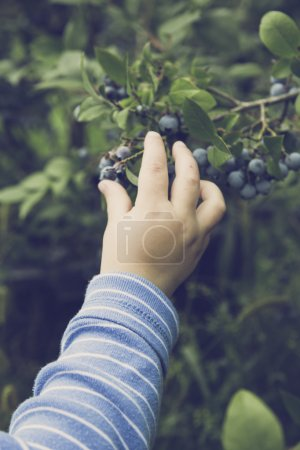 Photo for Child crop bio berry - Royalty Free Image