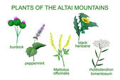 MEDICINAL PLANTS OF THE ALTAI MOUNTAINS
