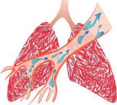The lungs and Trachea