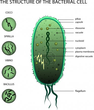Illustration for ILLUSTRATION OF THE STRUCTURE OF THE BACTERIAL CELL - Royalty Free Image