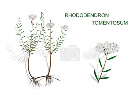 ILLUSTRATION OF WILD ROSEMARY WITH ROOT AND INFLOR...