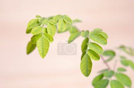 Moringa leaf on wooden board background