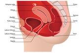 Ženské reprodukční systém ve střední části