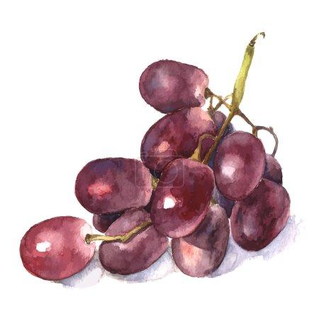 Illustration pour Ensemble de raisin aquarelle. Vecteur . - image libre de droit