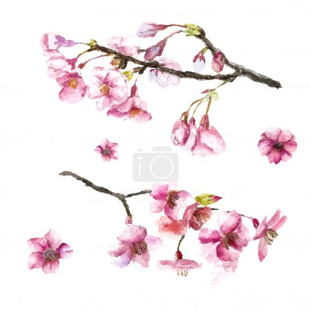 Illustration for Watercolor cherry blossom. Hand draw cherry blossom sakura branch and flowers. Vector illustrations. - Royalty Free Image