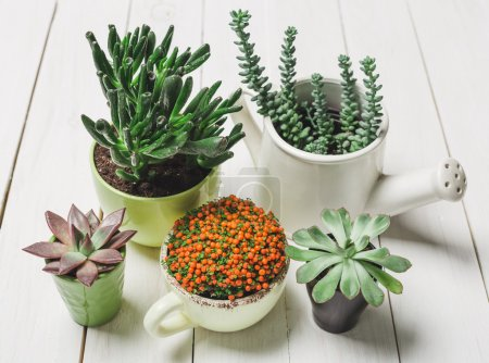 Photo for Succulents, house plants in colorful pots on white background - Royalty Free Image