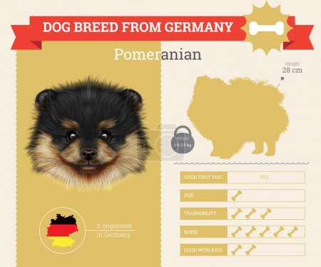 Illustration for Pomeranian dog breed vector infographics. This dog breed from German - Royalty Free Image