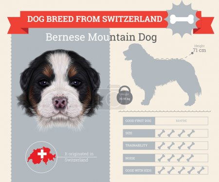Bernese Mountain dog breed vector infographics