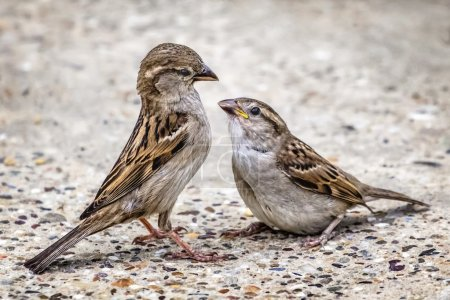 Yellow-Beak Youngling Sparrow And Its Parent Interacting Eye To Eye