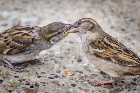 Youngling Yellow-Beak Sparrow Fed By Its Parent