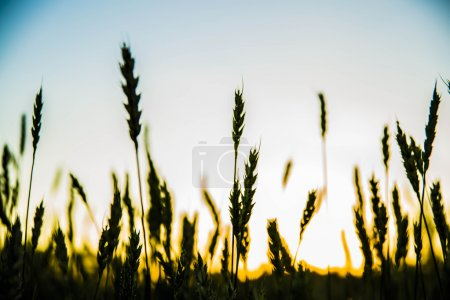 Photo for Wheat ears over field landscape - Royalty Free Image