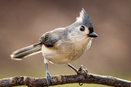 Tufted titmouse perched