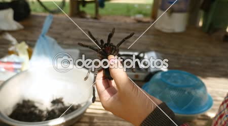 Woman killing tarantula before cooking by pressing hard on their abdomen