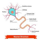 Brain neuron cell diagram