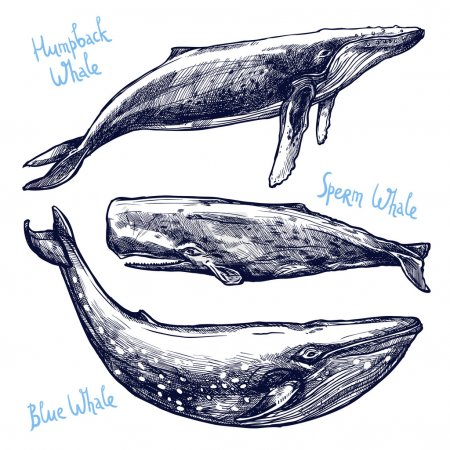 Illustration for Whales Set, Collection Of Different Hand Drawn Whales - Royalty Free Image
